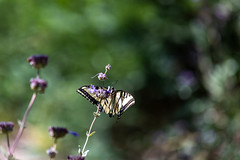 IMG_2074.jpg (tsutomu45) Tags: oil brea orangecounty olinda carboncanyon redwoods butterfly swallowtail