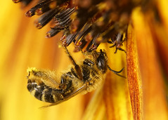 _A998575 (mbisgrove) Tags: sunflower bisgrove yellow macro insect a99ii a99m2 bee sony sigma wing flower 150mmexdgapohsm