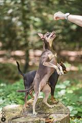 Nestor fait le beau (Philippe Bélaz) Tags: nestor ooligan pragois ratierdeprague animauxdecompagnie bois brun chiens chocolat debout forêts gâteries vert été