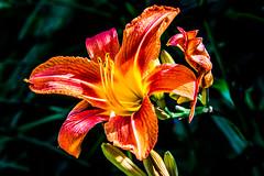 Fleur (musette thierry) Tags: fleur fleuraison couleur orange jardin musette thierry d800 flower falowme belgium