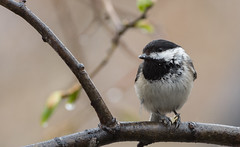 Mésange à tête noire // Black-capped Chickadee (Alexandre Légaré) Tags: mésange à tête noire blackcapped chickadee poecile atricapillus oiseau bird avian animal wildlife nature nikon d7500 quebec canada