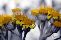 Weißfilziges Greiskraut (Jacobaea maritima), auch Silber-Greiskraut, Silberfarbiges Greiskraut, Zweifarbiges Greiskraut (chk.photo) Tags: nature naturewatcher outdoor natur makro naturemasterclass ngc macro flora flower austria blume österreich flickr