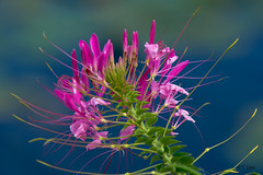 Cieoma Spider Flower (Tarq Photography) Tags: flower spider purple violet green stem outdoor summer park blue cieoma