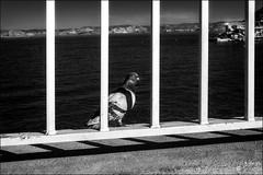 Qui est libre? /   Who is free? (vedebe) Tags: oiseaux animaux animal pigeon mer merméditerranée littoral plage ville city rue street urbain urban noiretblanc netb nb bw monochrome marseille