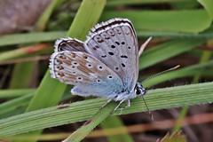 Bläuling (Hugo von Schreck) Tags: hugovonschreck butterfly schmetterling macro makro insect insekt canoneosm50 tamronsp90mmf28divcusdmacro11f017