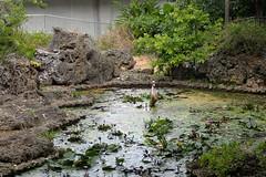 parmi les nénuphars... (8pl) Tags: mare étang japon eau nénuphar okinawa soin