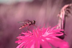 The infra-red bug.. (The all seeing i) Tags: nature insect hoverfly alienskin exposure 4