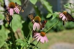 The gathering of Monarchs (ineedathis, Everyday I get up, it's a great day!) Tags: monarch danausplexippus newborn butterfly life insect coneflower purpleconeflower echinaceapurpurea πεταλουδα wings λεπιδοπτερα lepidoptera love calla lilies male closeup nature flower summer garden nikond750 bokeh