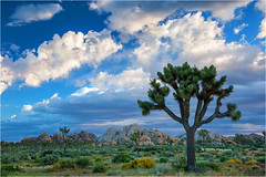 Joshua Tree (Sandra Lipproß) Tags: joshuatree nationalpark california spring desert landscape travel sky clouds usa nature outdoor earlymorning green desertbloom desertscape tree joshuatreenationalpark