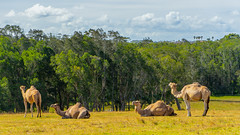 Camels In Australia (Peter.Stokes) Tags: australia australian colour landscape landscapes nature outdoors photo photography sky vacations water camel animals animal