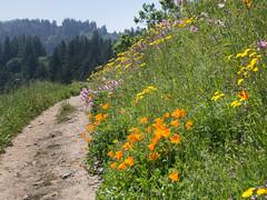 Windy Hill (3) (Teelicht) Tags: california californiapoppy eschscholziacalifornica hügel kalifornien kalifornischermohn mohn nordamerika northamerica papaver sanmateocounty usa unitedstatesofamerica vereinigtestaaten windyhill hill poppy portolavalley