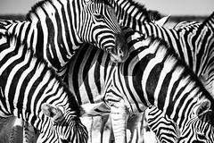 striped friends (Rainer ❏) Tags: namibia etoshanationalpark afrika xt2 rainer❏ bw bn sw zebras steppenzebra plainszebra hippotigris explore