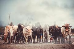 The Herd (u c c r o w) Tags: herd herdsman herdsmen arusha africa african animal cows bull cow dust tanzania tanzanian dusty