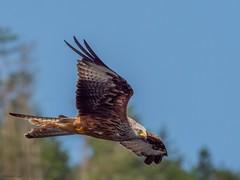 Red Kite (kc02photos) Tags: redkite milvusmilvus bwlchnantyrarian n wales uk birdphotography