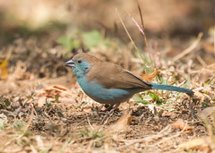 Blue Waxbill - Uraeginthus angolensis (Gary Faulkner's wildlife photography) Tags: bluewaxbill uraeginthusangolensis