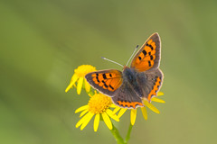 Small Copper........ (flicks pix1946) Tags: smallcopper lycaenaphlaeas butterfly insect wildlife nature ragwort wildflower summer cloudy green yellow orange brown grey black white olympus omd em1mkll 100400mm panasonic leica totonfieldsnaturereserve nottingham klythawk flickspix1946