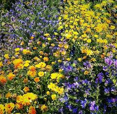 Kukkakedolla (Pinelope) Tags: field flowers summer kesä suomi finland kukkaketo