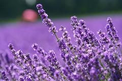Lavender@Furano Hokkaido (Yang Yu's Album) Tags: japan hokkaido furano 富良野 hokkaidō sorachidistrict lavender 北海道 日本 薰衣草