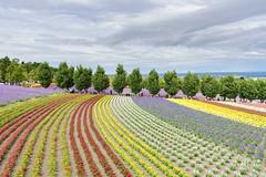 Furano Hokkaido 北海道富良野 (Yang Yu's Album) Tags: japan hokkaido furano hokkaidō sorachidistrict lavender 北海道 日本 薰衣草 富良野