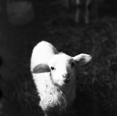 winter's lamb (irgendwiejuna) Tags: hasselblad hasselblad500cm animal lamb ilfordfilm ilfordhp5 hp5 caffenolcl caffenol selfdeveloped winter 2019 analog bavaria germany farm sheep 120