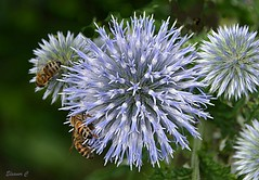 "Balls for Bees (Eleanor (New account))) Tags: ""august2019"" ""nikond7100"" uk stanmore ""canonspark"" bees ""blueflower"" ""globethistle"" flowers"