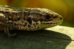 DSC03558 - Common Lizard (steve R J) Tags: common lizard south hanningfield reservoir ewt reserve essex reptile british