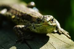 DSC03531 - Common Lizard (steve R J) Tags: common lizard south hanningfield reservoir ewt reserve essex reptile british