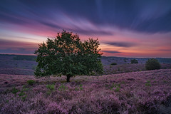 Color explosion (Sander Grefte) Tags: posbank heath heather heid paars purple landschap landscape hills heuvels sky lucht clouds wolken colors kleuren sunrise zonsopkomst herikhuizerveld