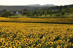 Y'a du Soleil (Excalibur67) Tags: nikon d750 sigma globalvision art 24105f4dgoshsma paysage landscape flowers fleurs tournesol sunflower girasole champ vosgesdunord soleil alsace jaune yellow