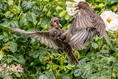 The starlings in our garden could start a fight in an empty room! (Linda Martin Photography) Tags: dorset wildlife nature bird starling ferndown sturnusvulgaris uk juvenile naturethroughthelens coth coth5