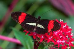 Papillon (clamar18) Tags: butterffly heliconius melpomene insecte vannes bretagne france nature