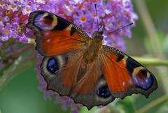 Paon de jour 1 (Nicopope) Tags: paon papillon nikon vlinder mariposa schmetterling butterfly nature butterflies vlinders papillons schmetterlinge animal