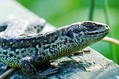 DSC03603 - Common Lizard (steve R J) Tags: common lizard south hanningfield reservoir ewt reserve essex reptile british