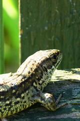 DSC03592 - Common Lizard (steve R J) Tags: common lizard south hanningfield reservoir ewt reserve essex reptile british