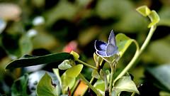 Faulbaum-Bläuling Weibchen (Celastrina argiolus) (dl1ydn) Tags: dl1ydn falter schmetterlinge bläuling faulbaumbläuling manual manuell canonfd 3570mm f4 garden nature natur animal insect butterflies bokeh 24x36 jpeg butterfly