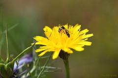 Be like a bee... (Maria Godfrida) Tags: smileonsaturday beeautiful nature flora fauna animal insect bee flower dandelion yellow green bokeh closeup macro pollen busy worker plants