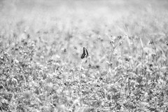 cosmos with butterfly (Typ250) Tags: 東京都 日本 monochrome mmonochrom leicammonochrom leicam leica summarex summarex85cm summarex85mm summarexf85cm115