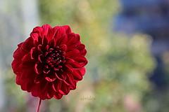 Dahlia (abrideu) Tags: abrideu canoneos100d dahlia red macro depthoffield bright bokeh bouquet flower ngc npc