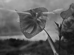 Lo que la Naturaleza no da, lo hace la fotografía (Luicabe) Tags: achicoria airelibre árbol blancoynegro cabello calle chopo cielo enazamorado exterior flor fotografía hierba hoja limbo luicabe luis macrofotografía monocromático naturaleza ngc peciolo pétalo planta superposición yarat1 zamora olympus