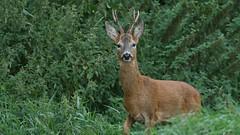 Foot stamping Roe buck... (Cosper Wosper) Tags: stamp roe buck deer somerset levels pointy shapwick