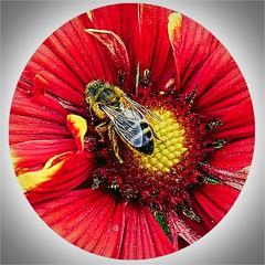 Squaring the Circle HSS (cheltenhamgirl (Yvonne)) Tags: bees slidersunday