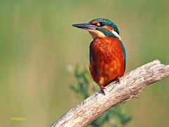 Martín pescador común (Alcedo atthis) (20) (eb3alfmiguel) Tags: aves pájaros coraciiformes alcedinidae martín pescador común alcedo atthis