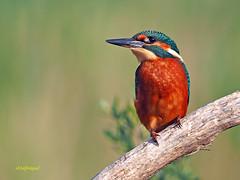 Martín pescador común (Alcedo atthis) (19) (eb3alfmiguel) Tags: aves pájaros coraciiformes alcedinidae martín pescador común alcedo atthis