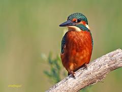 Martín pescador común (Alcedo atthis) (18) (eb3alfmiguel) Tags: aves pájaros coraciiformes alcedinidae martín pescador común alcedo atthis