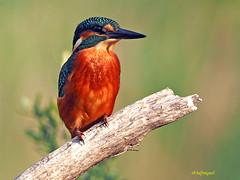 Martín pescador común (Alcedo atthis) (16) (eb3alfmiguel) Tags: aves pájaros coraciiformes alcedinidae martín pescador común alcedo atthis