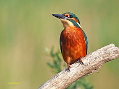 Martín pescador común (Alcedo atthis) (15) (eb3alfmiguel) Tags: aves pájaros coraciiformes alcedinidae martín pescador común alcedo atthis