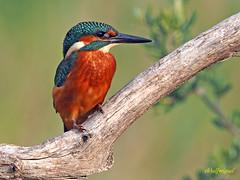 Martín pescador común (Alcedo atthis) (12) (eb3alfmiguel) Tags: aves pájaros coraciiformes alcedinidae martín pescador común alcedo atthis