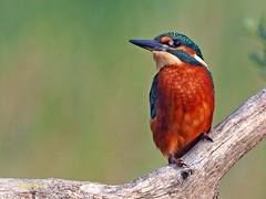 Martín pescador común (Alcedo atthis) (9) (eb3alfmiguel) Tags: aves pájaros coraciiformes alcedinidae martín pescador común alcedo atthis
