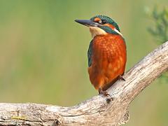 Martín pescador común (Alcedo atthis) (8) (eb3alfmiguel) Tags: aves pájaros coraciiformes alcedinidae martín pescador común alcedo atthis