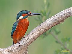 Martín pescador común (Alcedo atthis) (1) (eb3alfmiguel) Tags: aves pájaros coraciiformes alcedinidae martín pescador común alcedo atthis
